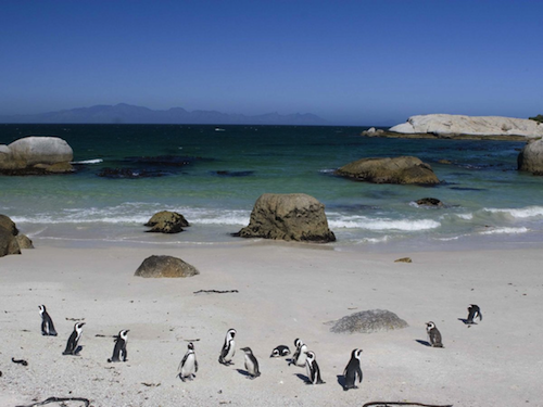 watch-the-colonies-of-african-penguins-in-their-natural-habitat-at-boulders-beach-in-cape-town-south-africa-theres-also-an-excellent-place-for-swimming-nearby