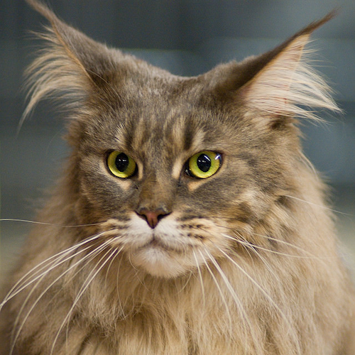 maine-coon-green-eyes